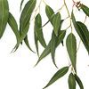 Aceite Esencial de Árbol de Té 15 ml