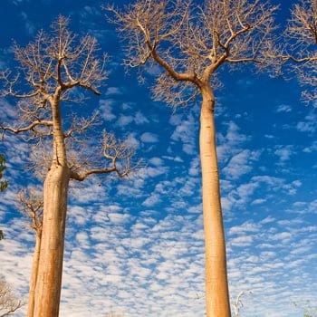 Aceite Iluminador de Baobab Biológico